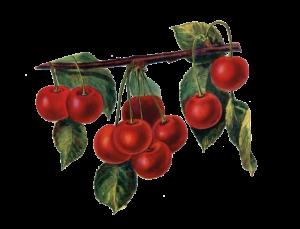 Vine Cherries